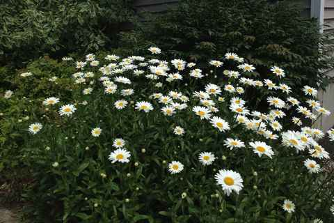 Daisies in front yard July '13