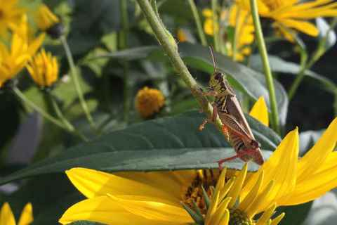 Grasshopper on the backyard flowers Sep '13